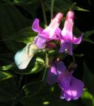 Fruehlings Platterbse Bluete pink lila Lathyrus vernus 03