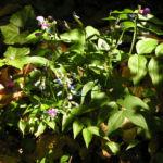 Fruehlings Platterbse Bluete pink lila Lathyrus vernus 04