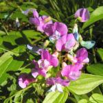 Fruehlings Platterbse Bluete pink lila Lathyrus vernus 06