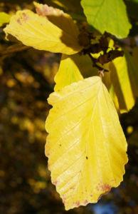 Fruehlings Zaubernuss Blaetter gelb Frucht Hamamelis vernalis 02