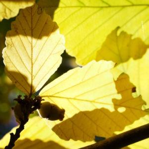 Fruehlings Zaubernuss Blaetter gelb Frucht Hamamelis vernalis 03