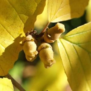 Fruehlings Zaubernuss Blaetter gelb Frucht Hamamelis vernalis 04