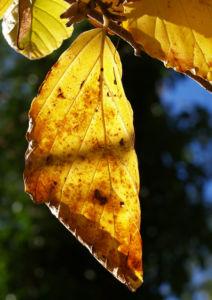 Fruehlings Zaubernuss Blaetter gelb Frucht Hamamelis vernalis 05