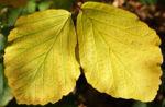 Fruehlings Zaubernuss Blaetter gelb Frucht Hamamelis vernalis 07