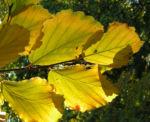 Fruehlings Zaubernuss Blatt gelb Hamamelis vernalis 01