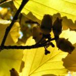 Fruehlings Zaubernuss Blatt gelb Hamamelis vernalis 03