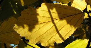 Fruehlings Zaubernuss Blatt gelb Hamamelis vernalis 04