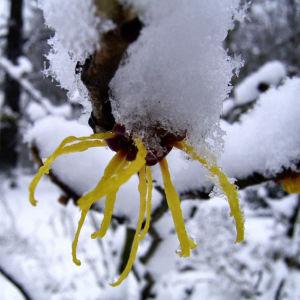 Fruehlings Zaubernuss Schnee Hamamelis vernalis 01