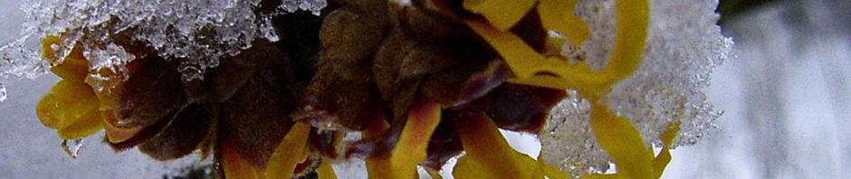 fruehlings-zaubernuss-bluete-gelb-schnee-hamamelis-vernalis