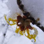 Fruehlings Zaubernuss Schnee Hamamelis vernalis 03