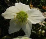 Fruehlingschristrose weisse Bluete Helleborus orientalis 01