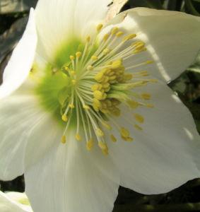 Fruehlingschristrose weisse Bluete Helleborus orientalis 02