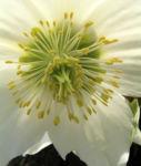 Fruehlingschristrose weisse Bluete Helleborus orientalis 03
