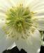 Zurück zum kompletten Bilderset Frühlingschristrose weiße Blüte Helleborus orientalis