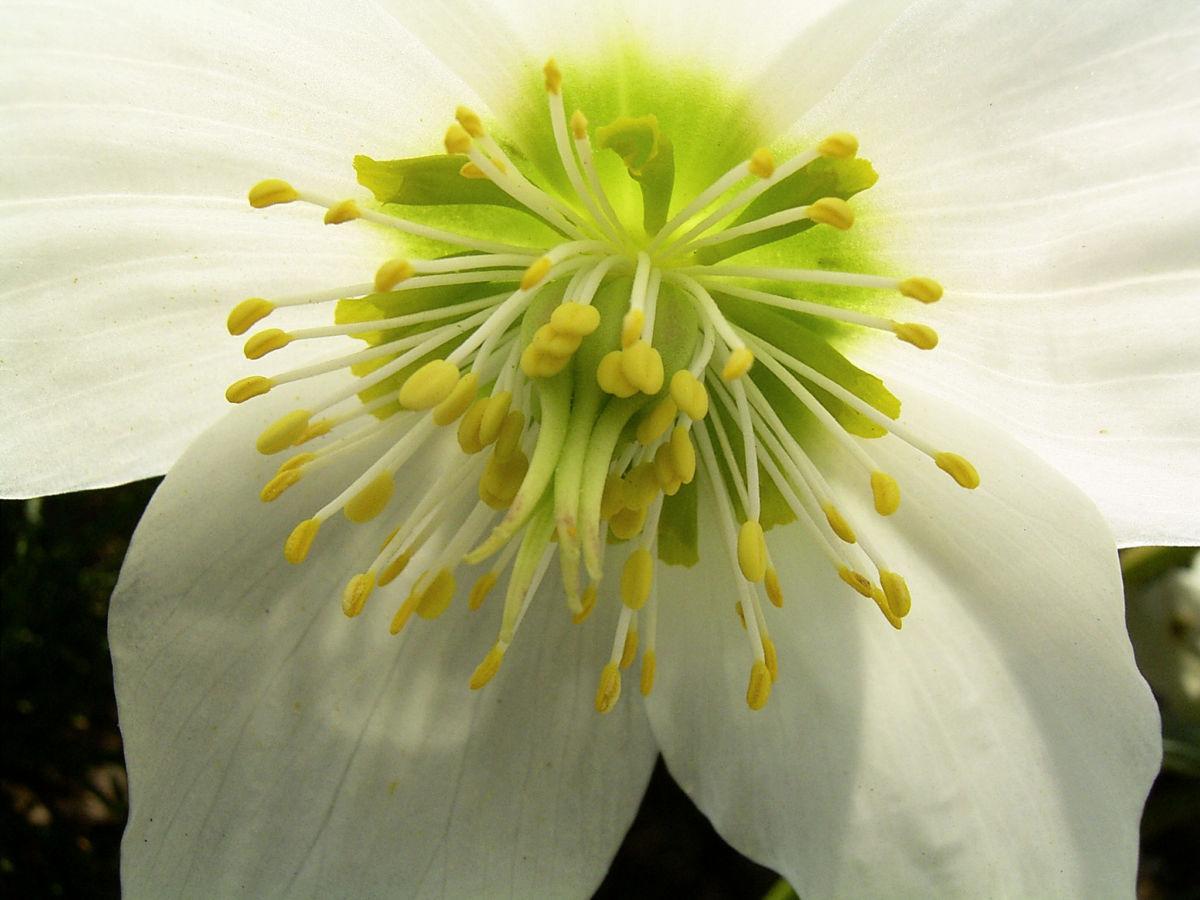 Fruehlingschristrose weisse Bluete Helleborus orientalis