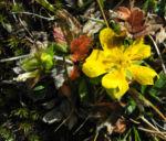 Bild: Frühlings-Fingerkraut Blüte gelb Potentilla tabernaemontani