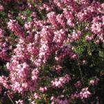 Fruehlingsheidekraut Bluete rosa Erica herbacea 03