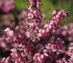 Fruehlingsheidekraut Bluete rosa Erica herbacea 07