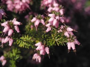 Fruehlingsheidekraut Bluete rosa Erica herbacea 11