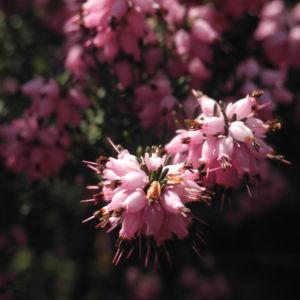 Fruehlingsheidekraut Bluete rosa Erica herbacea 13