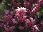 Bild: Frühlingsheidekraut Blüte rosa Erica herbacea