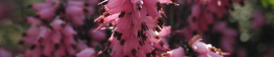 fruehlingsheidekraut-bluete-rosa-erica-herbacea