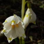 Fruelings Knotenblume Maerzenbecher Leucojum vernum 03