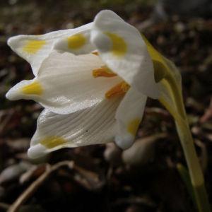 Fruelings Knotenblume Maerzenbecher Leucojum vernum 04