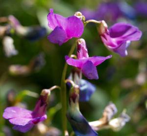 Fruelings Platterbse Bluete violett Lathyrus vernus 04