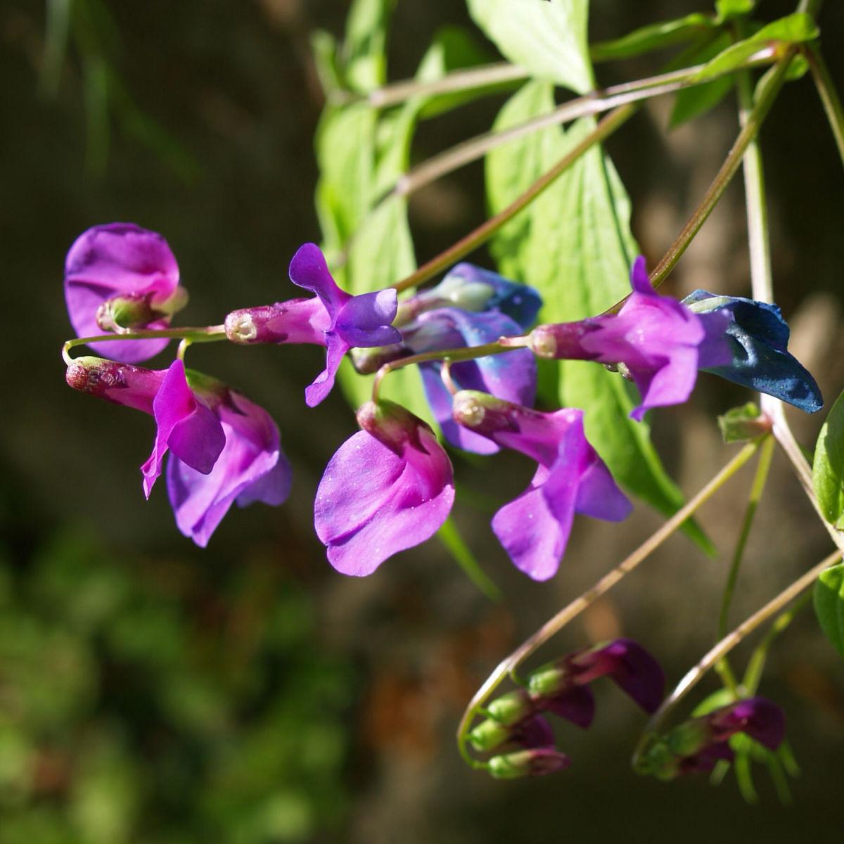 Fruelings Platterbse Bluete violett Lathyrus vernus