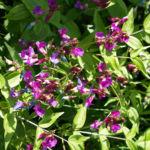Fruelings Platterbse Bluete violett Lathyrus vernus 08