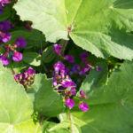 Fruelings Platterbse Bluete violett Lathyrus vernus 10
