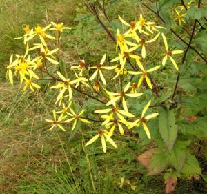 Bild: Fuchs Greiskraut Bluete gelb Senecio fuchsii