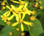 Bild: Fuchssches Greiskraut Blüte gelb Senecio fuchsii