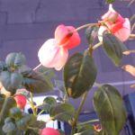 Fuchsia Fuchsie 02