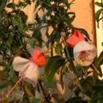 Bild: Fuchsia Blüte rot weiß Fuchsie