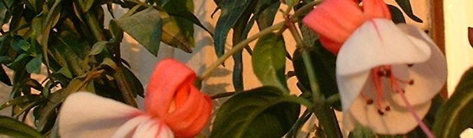 Anklicken um das ganze Bild zu sehen Fuchsia Blüte rot weiß Fuchsie