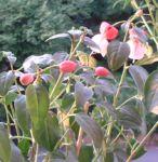 Fuchsia Fuchsie 04