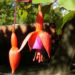 Zurück zum kompletten Bilderset Fuchsie Blüte rot lila Fuchsia