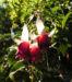 Zurück zum kompletten Bilderset Fuchsie Hybride Blüte weiß rot Fuchsia