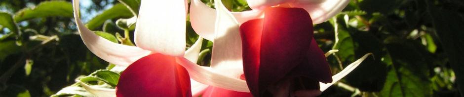Anklicken um das ganze Bild zu sehen Fuchsie Hybride Blüte weiß rot Fuchsia