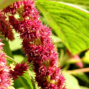 Fuchsschwanz Inkaweizen Gartenfuchsschwanz Samen rot Amaranthus caudatus 05