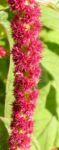Fuchsschwanz Inkaweizen Gartenfuchsschwanz Samen rot Amaranthus caudatus 06