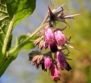 Futter Beinwell Bluete lila Symphytum x uplandicum 06