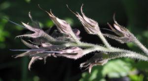 Futter Beinwell Bluete lila Symphytum x uplandicum 13