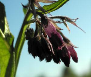 Futter Beinwell Bluete lila Symphytum x uplandicum 17
