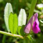Futterwicke Bluete pink Vicia sativa 11
