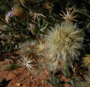 Fuzzweed Bluete lila Vittadinia gracilis05