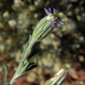 Fuzzweed Bluete lila Vittadinia gracilis07