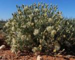 Fuzzweed Samen silber Vittadinia gracilis04